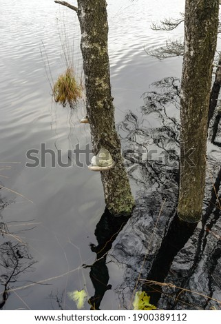 picture with bitters on an old birch trunk, dying trees on the shore of a flooded lake