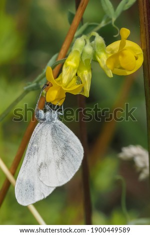 A nice picture of an indefinite butterfly or moth from central europe , beatiful photo , beatiful photo