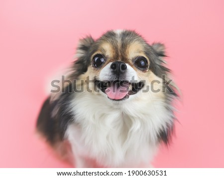 Close up image of happy and healthy long hair  Chihuahua dog smiling with her tongue out and  looking at camera on pink background. Adorable animal concept