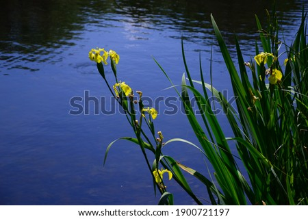 Row of yellow iris beds. They were planted at the edge of a stream, which leads to a pond in a park. These flowers are in a field belonging to a castle, open to the public for a flower exhibition.