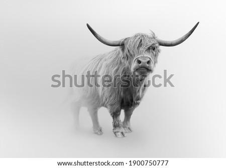 scoitish highlands cattle wild cow farm animal  Royalty-Free Stock Photo #1900750777