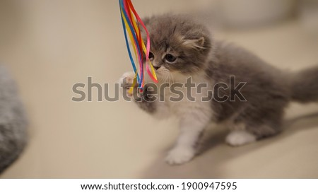 Small white gray furry cute Persian kitty playing with a rainbow now on the floor. Inside the house. Warm tone picture.