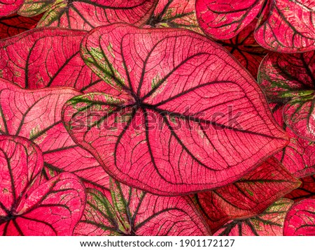 colorful red caladium leaves nature or abstract background by closeup of vivid pink heart-shaped leaf shrub a tropical leafy potted plant for garden decoration and graphic design Royalty-Free Stock Photo #1901172127