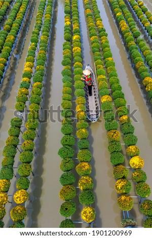 Cuc Mam Xoi or Chrysanthemum morifolium flower field, Sa Dec village, Dong Thap province, Vietnam Royalty-Free Stock Photo #1901200969