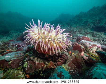 A changeable anemone (Anemonia mutabilis) invertebrate on a rocky reef off Vancouver Island, British Columbia, Canada.   Royalty-Free Stock Photo #1901235595