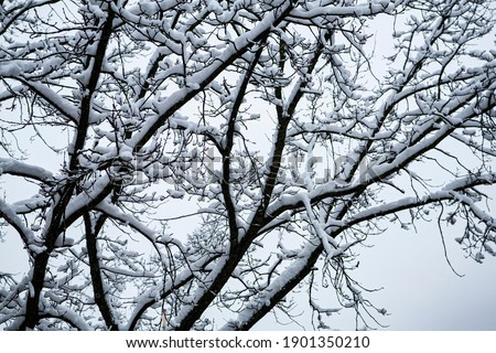 Snowy winter tree. Forked trunk. Long branches covered with sparkling snow. Isolated on white background.