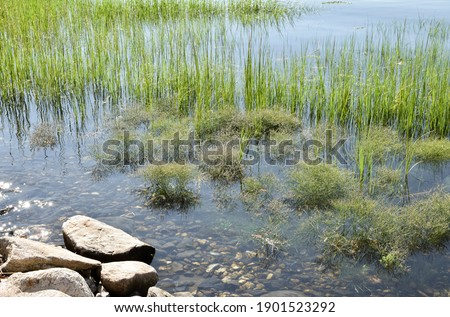 Sea lavender (Limonium carolinianum).is a salt marsh plant of the high marsh. Here a grouping of Sea Lavender is flooded by an astronomical spring tide. Long Island, New York.  Copy space. Royalty-Free Stock Photo #1901523292