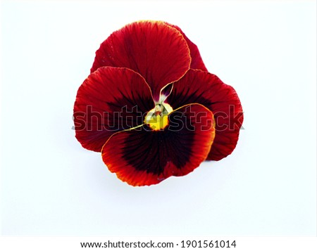 red Pansy flower isolated on white background