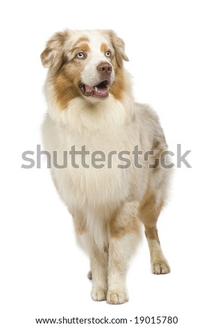 australian shepherd (3 years) in front of a white background #19015780