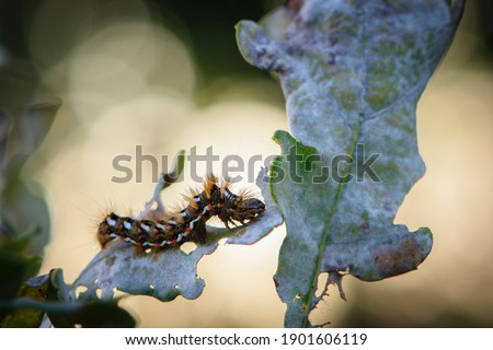 a large furry caterpillar on the leaves. Macro pictures, beautiful nature. pests, close-up of a beautiful multi-colored caterpillar - butterflies. bokeh, oak leaves in a forest or park