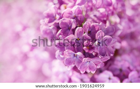 Purple lilac flowers as background. Spring background Royalty-Free Stock Photo #1901624959