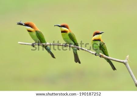 Chestnut-headed Bee-eater birds #190187252