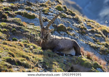 Male alpine ibex (capra ibex) or steinbock portrait in Alps mountain, France Royalty-Free Stock Photo #1901999395