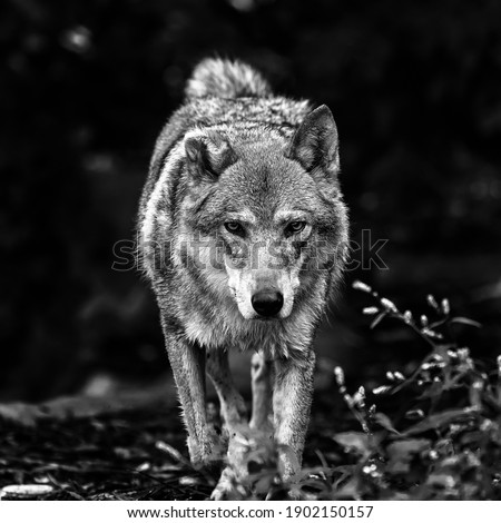 Portrait of a grey wolf Canis Lupus, a close-up photo of a predator