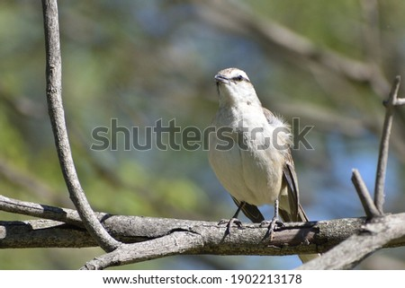 chalk-browed mockingbird (Mimus saturninus) perching in a tree in Buenos Aires
