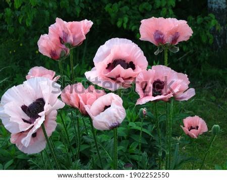 Pink oriental poppy (Papaver orientale) blooms in the garden in June. Royalty-Free Stock Photo #1902252550