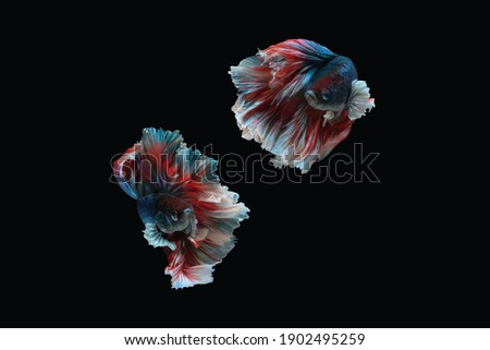 Photo collage of red blue white combination big ear halfmoon betta splendens siamese fighting fish isolated on black color background. Image photo