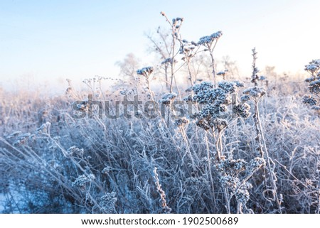 dawn on a snow-covered field amid grass. Snow and frost on the plants. Ice grass. Ice tale. Beautiful winter background with branches covered with hoarfrost. The plants are covered with frost.  Royalty-Free Stock Photo #1902500689