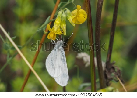 A nice picture of an indefinite butterfly or moth from central europe , beatiful photo