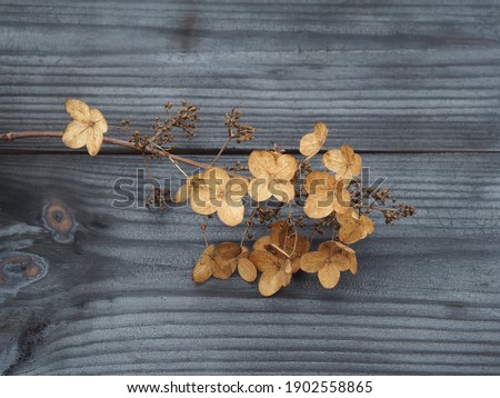 Dried flowers of hydrangea paniculata on a charcoal wooden, black background, closeup. Floral, seasonal, romantic picture for design and decoration