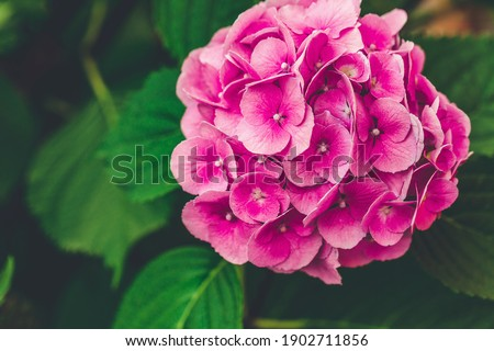 Blooming pink hydrangea or hortensia background. Spring or summer garden. Close up, selective focus, moody picture