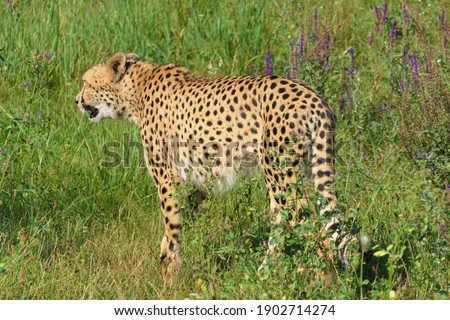 African cheetah creeps through tall grass, picture from his perspective and point of view
