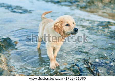 Beautiful and cute golden retriever puppy dog having fun at the beach sitting on the golden sand. Lovely labrador purebred playing splashing water from the sea Royalty-Free Stock Photo #1902761380