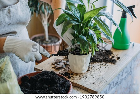 Spring Houseplant Care, Waking Up Indoor Plants for Spring. Woman is transplanting plant into new pot at home. Gardener transplant plant Spathiphyllum Royalty-Free Stock Photo #1902789850