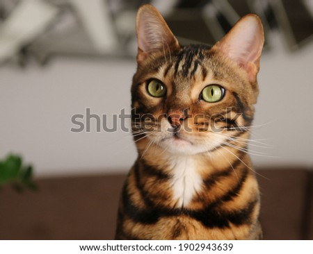 Portrait of a bengal  cat, cat looking at camera. close up Royalty-Free Stock Photo #1902943639