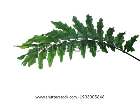 Dark green leaves of rare ornamental palm plant Wallichia palm or  Himalayan dwarf fishtail palm frond the humid forest plant isolated on white background with clipping path. Royalty-Free Stock Photo #1903005646
