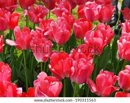 pink tulips garden #190311563