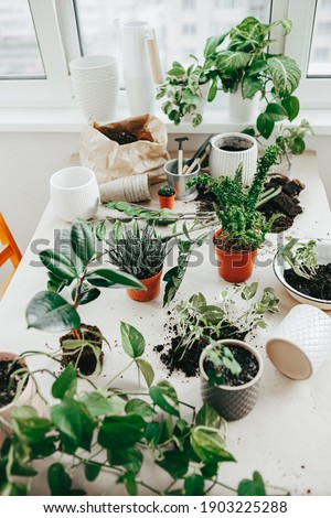 Gardening tools, many different sort of houseplants on the table ready for replant. Houseplant growing Royalty-Free Stock Photo #1903225288