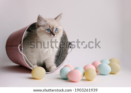 Beautiful white kitten with blue eyes. The Neva Masquerade breed. Easter greeting card background. Kitten with eggs, spring mood. Copy space. Gentle tone saver . Cute funny furry adorable pet wallaper Royalty-Free Stock Photo #1903261939
