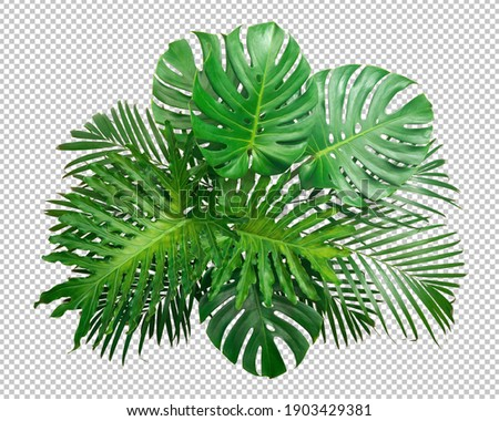 Bush Green Monstera leaf isolated transparency white background.Tropical leaves object clipping path Royalty-Free Stock Photo #1903429381