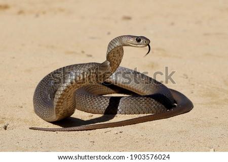 Australian Highly venomous Eastern Brown Snake in striking position Royalty-Free Stock Photo #1903576024