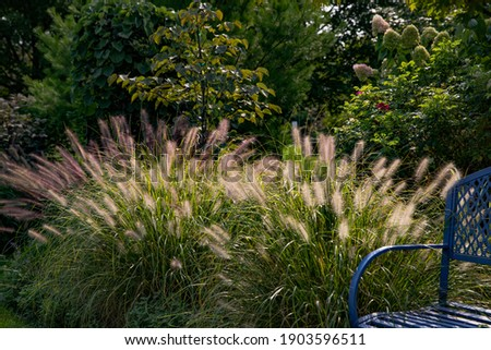 Red head ornamental grasses pennisetum alopercuroides, ornamental grass with whimsical plumes highlighted by the late afternoon sun, are a standout in this Chicago garden.  Royalty-Free Stock Photo #1903596511