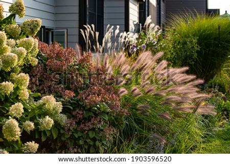 Red head ornamental grasses pennisetum alopercuroides, ornamental grass with whimsical plumes highlighted by the late afternoon sun, are a standout in this Chicago garden.  Royalty-Free Stock Photo #1903596520