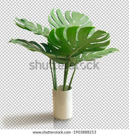 Bush Green Monstera leaf isolated transparency white background.Tropical leaves object clipping path