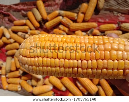 Close up capture of yellow corn. A man holding beautiful yellow ripe corn in hand. Photography of corn product. Fresh corn picture.