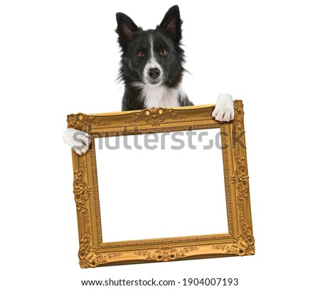 border collie dog holding an empty golden frame in front of a white background