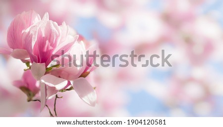 Blooming magnolia tree in spring on pastel bokeh blue sky and pink  background, wide composition, internet springtime banner
