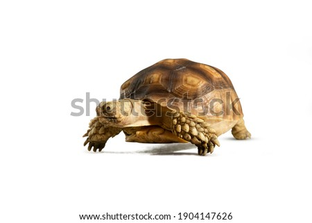 Turtle (Centrochelys sulcata) isolated on white background with clipping path. Turtle shrinking its head Royalty-Free Stock Photo #1904147626