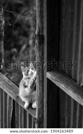 Dramatic high contrast black and white image of a orange and white cat sharpening his nails on the fence post, with blurred background