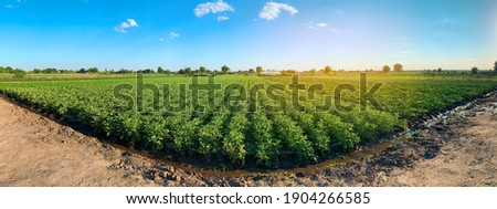 Panoramic photo of a beautiful agricultural view with potato plantations on the farm on a sunny day. Agriculture and farming. Selective focus Royalty-Free Stock Photo #1904266585
