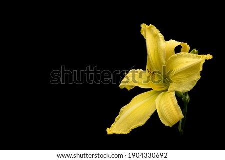 Flower of a yellow Lily. Isolated on a black background