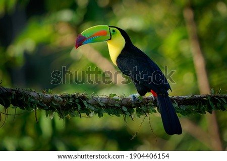 Keel-billed Toucan - Ramphastos sulfuratus  also known as sulfur-breasted toucan or rainbow-billed toucan, Latin American colourful bird, national bird of Belize.