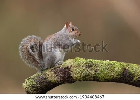 The eastern gray squirrel, also known as the grey squirrel depending on region, is a tree squirrel in the genus Sciurus. It is native to eastern North America.