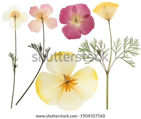 Pressed and dried delicate yellow flowers eschscholzia (eschscholzia Californica, California poppy). Isolated on white background. For use in scrapbooking, floristry or herbarium. Royalty-Free Stock Photo #1904507560