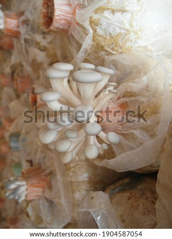 Fairy Mushroom in the Greenhouse Pleurotus pulmonarius Picture a mushroom in a cultivated place.