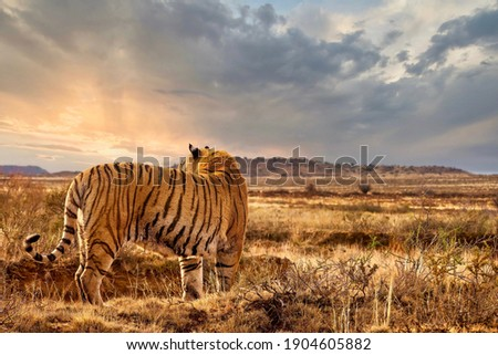 An adult male tiger (Panthera tigris tigris) standing with backlight from the setting sun, his orange and striped markings camouflaging him in the landscape. Royalty-Free Stock Photo #1904605882